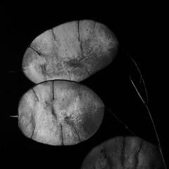 Silberblatt 2 (Wo Mue Ov) Tags: hell blatt schwarz dunkel blten silber samen linien weis