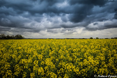 Tough Times Never Last, But Tough People Do (_Natasa_) Tags: uk blue england sky storm art nature field yellow clouds canon landscape derbyshire sigma mustard derby mustardfield sigma1020mm shardlow canoneos600d natasaopacic natasaopacicphotography