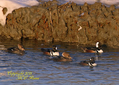 Magic Hour Hooded Mergansers (1 of 2) at Edwin B Forsythe National Wildlife Refuge in Galloway (commonly referred as Brigantine) New Jersey (takegoro) Tags: b sunset nature birds duck wildlife wetlands marsh brigantine preserve sanctuary edwin refuge galloway hooded nwr merganser new jersey national golden refuge magic hour forsythe