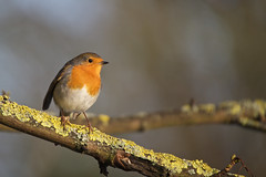 Winter Afternoon (Matt Cawrey Wildlife Photography) Tags: uk winter nature robin nikon leicestershire wildlife sigma loughborough 2014 charnwoodwater d700