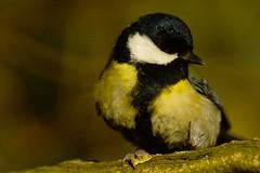 DSC01820 - Great Tit (steve R J) Tags: london birds gardens foot tit great british kensington deformed