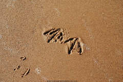 Seagull Footprints in the Sand. (Infinity & Beyond Photography) Tags: beach wet sand seagull gull sandy footprints blackpool