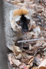 Red fronted brown lemur snacking - Kirindry Forest, Madagascar July 2014