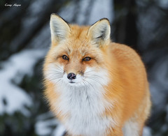 Fox (Corey Hayes) Tags: wild ontario canada art nature animal canon mammal wildlife ngc northamerica 2015 wildlifephotography coreyhayes 500f4is 7dmkii