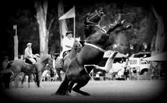 El golpe (Eduardo Amorim) Tags: horses horse southamerica argentina criollo caballo cheval caballos cavalos pferde herd cavalli cavallo cavalo gauchos pferd ayacucho chevaux gaucho cavall  amricadosul gacho amriquedusud provinciadebuenosaires  gachos  sudamrica suramrica amricadelsur sdamerika crioulo caballoscriollos criollos jineteada  tropillas buenosairesprovince americadelsud gineteada tropilhas tropilla crioulos cavalocrioulo americameridionale tropilha caballocriollo eduardoamorim cavaloscrioulos