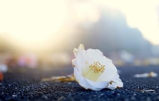 Where the Camellia hits the concrete [ in explore ]