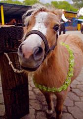 Pony (LEJZA) Tags: animal pony animales cerca animais