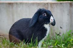 Pupe (iina.makkonen) Tags: pet rabbit bunny animal finland outdoors nikon nikkor nikond7000