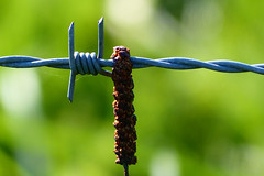 Barbed Wire (Michael Eickelmann) Tags: green nature up closeup wire dof close bokeh natur grn barbed stacheldraht
