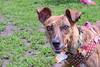 16-05-15_untitled_780 (Daniel.Lange) Tags: dog philadelphia dogs dogdayafternoon spado columbussquarepark