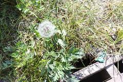 Blowball (piropiro3) Tags: dandelion drain gully lwenzahn blowball