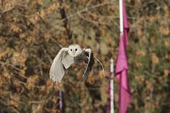 Barn Owl flyby (crafty1tutu (Ann)) Tags: inflight outdoor blacktown barnowl birdshow medievalfair featheredfriends anncameron medievalfayre nurragingyreserve crafty1tutu canon7dmkii canon7020028islseries