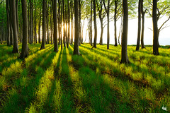 long shadows ... (Sandra Bartocha) Tags: trees sunset summer forest woods shadowplay beechwood beeches beechforest coastalforest
