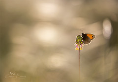 First sunlight (Inspiring Nature Photography) Tags: morning light sunlight macro nature butterfly bokeh sunbeam sigma150mmmacro coenonymphapamphilus smallheath