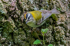 JWL8179 Firecrest.. (jefflack Wildlife&Nature) Tags: nature birds countryside woodlands wildlife avian warbler songbirds wildbirds warblers firecrest