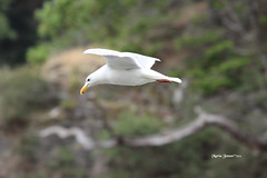 IMG_5593 (mariajensenphotography) Tags: ocean sea seagulls nature birds animals island spring wildlife salt