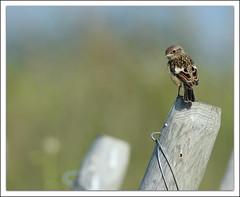 faire la tête (guiguid45) Tags: bird nature nikon oiseaux sauvage loiret stonechat 500mmf4 d810 tarierpâtre passereaux saxicolatorquato