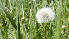 Blowball (piropiro3) Tags: green grass dandelion gras grn lwenzahn pusteblume blowball