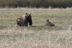 20160512_GrandTetonNP_1666-1 610AndHerYearlings (Martine Yen) Tags: bears grandtetonnationalpark