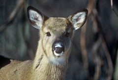 fawn (cseager40) Tags: winter closeup deer fawn