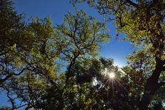 Taking in the Sun Through the Trees (thor_mark ) Tags: trees sun nature austin unitedstates tx blueskies bartoncreekgreenbelt lookingse sunthroughtrees project365 colorefexpro sunshiningthroughtrees sunshiningthroughtree nikond800e capturenx2edited sayinggoodbyetosunshine