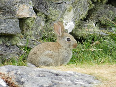 Rabbit in Uig, Isle of Lewis, June 2016 (allanmaciver) Tags: rabbit dyke uig lewis western isles hebrides watch wait admire delight allanmaciver