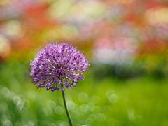 Allium (Karsten Gieselmann) Tags: park red color green rot garden sterreich dof purple bokeh olympus lila grn farbe allium obersterreich violett schrfentiefe m43 mft badischl vintagelens nutzpflanzen at takumar50mmf14 microfourthirds em5markii kgiesel