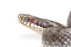 European Adder (Marius Sund) Tags: animals reptile serpent animalia orm dyr reptil reptilia vipera huggorm hoggorm berus serpentes slange ormer slanger krypdyr
