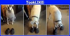 เมื่อน้องหมาใส่รองเท้าเดิน ความน่ารักจึงเกิดขึ้น