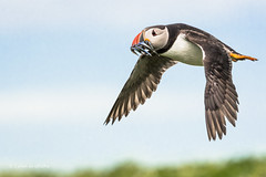 Coming home fast and low D50_1894.jpg (Mobile Lynn) Tags: england bird nature birds fauna wildlife ngc northumberland npc gb puffin farneislands fratercula coth greatphotographers specanimal coth5 sunrays5