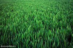 Green Split-Tone Crop, Fields of Featherstone (richardstelmach) Tags: uk green field landscape outdoors farm yorkshire fields wakefield agriculture westyorkshire featherstone splittone