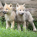 Arctic wolf 2016-06-14-0239