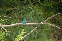 weit weg.., NGID13642286 (naturgucker.de) Tags: alcedoatthis eisvogel naturguckerde cmanfredweinhold 915119198 1067791752 1257572906 ngid13642286