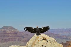The star (!Claro) Tags: usa star wildlife grandcanyon vulture 80 geier