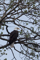 Eagle (PNG441) Tags: canada bird outdoors spring wildlife baldeagle temiskaming temiskamingshores