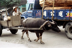 32-193 (ndpa / s. lundeen, archivist) Tags: road street winter people man color fall film hat animal truck 35mm wagon village nick taiwan horns ox driver cart 1970s 1972 hualien 32 taiwanese eastcoast unidentified dewolf rurallife republicofchina conicalhat easterncoast easterntaiwan nickdewolf photographbynickdewolf hualiencounty oxdrawn reel32