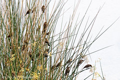 IN THE REEDS (PHOTOGRAPHY|bydamanti) Tags: birds reeds us unitedstates florida boyntonbeach wildflorida birdsbirdsbirds birdfanatics greencaywetlands southfloridawetlands femaleredwingedblackbirds wakogreencaylox