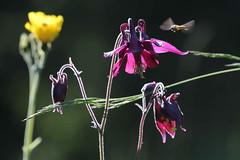 Visita (lincerosso) Tags: fiori flowers fioridimontagna fioridipratoaquilegiascura aquilegiaatrata luce mattino primavera pronubi sirfidi bellezza armonia prditoro