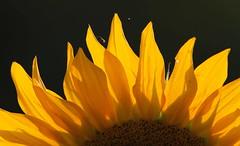 Simbolo (lincerosso) Tags: piante fiori flowers girasole helianthusannuus coloregiallo luce estate bellezza armonia