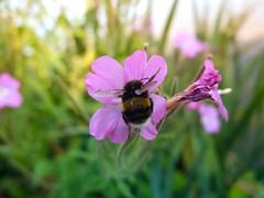 Flower Bee (rob_trik) Tags: nature countryside eppingforest connaught waters bee bumblebee essex