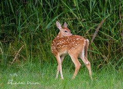 Whitetail fawn (Lindell Dillon) Tags: oklahoma nature wildlife deer whitetail lindelldillon