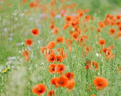 Poppies (eric robb niven) Tags: ericrobbniven fife rivertay poppies wildlife wildflower nature scotland