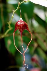 アリストロキア・トリカウダタ /Aristolochia tricaudata (nobuflickr) Tags: 20160702dsc03933 アリストロキア・トリカウダタ aristolochiatricaudata ウマノスズクサ科ウマノスズクサ属 awesomeblossoms