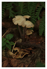 It wasn't me! (e27182818284) Tags: smcpk200mmf40 pilze fungi blackforest schwarzwald