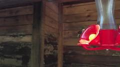 Slow-Motion Hummingbird Video ((Jessica)) Tags: video topanga feeder hummingbird chirp nature california slowmotion slowmo hummingbirds iphone bird santamonicamountains
