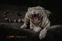Leave Me Alone (Vin PSK) Tags: purple leavemealone whitetiger singaporezoo