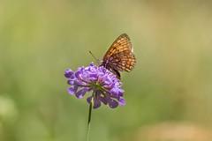 perlada castaa (hilarioperez) Tags: hilarioperez bolboreta boloriaselene perladacastaa mariposa papillon butterfly lepidoptero verano ocourel moreda