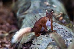 Who...Me? (PeteWPhotography) Tags: squirrel red brownsea nature pose look stare dof