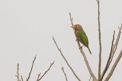 Barbudo Listado (ik_kil) Tags: barbudolistado barbet lineatedbarbet megalaimalineata kaziranga kaziranganationalpark birdsofindia birds assam india