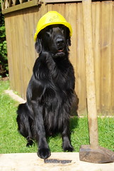 DSC_0892 (Flat Coated Retriever in Berlin) Tags: zeuthen 20011 clicker halten